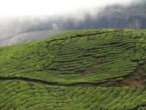 Kolonier för grönt te med rökiga berg royaltyfri foto