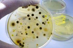 Kolonies van verschillende die bacteri?n en vormpaddestoelen op petrischaal met voedende agar-agar worden gekweekt stock afbeelding