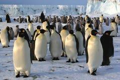 kolonii pingwinów imperatora. Fotografia Royalty Free