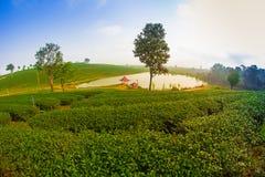 Koloniliggande för grön tea Royaltyfri Fotografi
