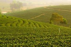 Koloniliggande för grön tea Arkivfoto