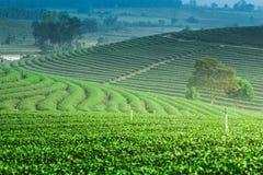 Koloniliggande för grön tea Fotografering för Bildbyråer