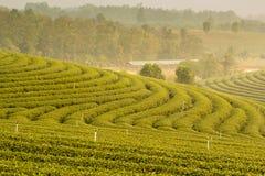 Koloniliggande för grön tea Royaltyfria Bilder