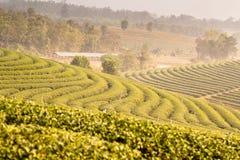 Koloniliggande för grön tea Arkivfoton