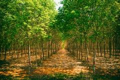 Kolonin av gummiträd Royaltyfri Fotografi