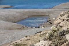 Kolonin av sjölejon på Patagonianen seglar utmed kusten i Argentina. Arkivbild