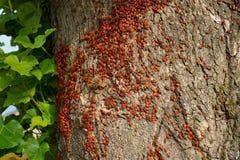 Kolonin av skalbaggefirebugs anfaller ett gammalt träd arkivbilder
