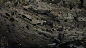 Kolonin för den Darkling skalbaggen, som producerar mål, avmaskar arkivfilmer