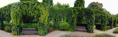 Kolonner som är fullvuxna vid murgrönan Royaltyfria Bilder