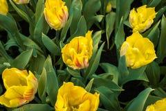 Kolorów żółtych łaciaści tulipany na naturalnym kwiecistym tle Zdjęcia Stock
