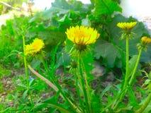 Kolorów żółtych śródpolni dandelions Zdjęcie Royalty Free