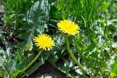 2 kolorów żółtych dandelion kwiat Zdjęcie Stock