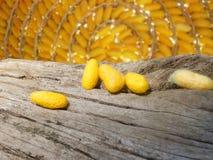 Kolorów żółtych kokony stawiają dalej krakingowego karcz i tło jest wiele coco Obrazy Royalty Free