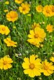 Kolorów żółtych kwiaty Obraz Royalty Free