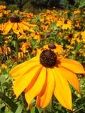 Kolorów żółtych kwiaty Zdjęcie Stock