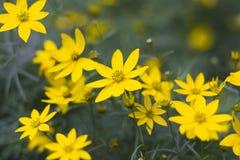 Kolorów żółtych kwiaty Obrazy Stock