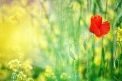 Kolorów żółtych kwiaty i czerwoni maczki w polu Zdjęcia Royalty Free