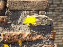 Kolorów żółtych kwiaty i stara cegła Zdjęcia Stock