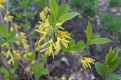 Kolorów żółtych kwiaty kwitnący w wiośnie Fotografia Royalty Free