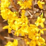 Kolorów żółtych kwiaty. Piękny forsyci Bush kwiat Fotografia Stock