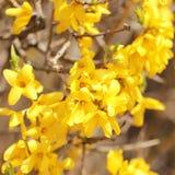Kolorów żółtych kwiaty. piękny forsycja krzaka kwiat Zdjęcia Stock