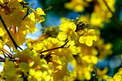 Kolorów żółtych kwiaty, Srebny tubowy drzewo, drzewo złoto, Paragwajski srebny tubowy drzewo Obrazy Royalty Free
