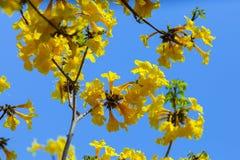 Kolorów żółtych kwiaty, Srebny tubowy drzewo, drzewo złoto, Paragwajski srebny tubowy drzewo Zdjęcia Royalty Free