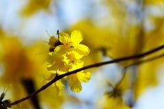 Kolorów żółtych kwiaty, Srebny tubowy drzewo, drzewo złoto, Paragwajski srebny tubowy drzewo Obraz Stock