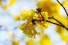 Kolorów żółtych kwiaty, Srebny tubowy drzewo, drzewo złoto, Paragwajski srebny tubowy drzewo Zdjęcie Royalty Free