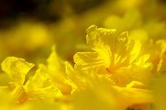 Kolorów żółtych kwiaty, Srebny tubowy drzewo, drzewo złoto, Paragwajski srebny tubowy drzewo Zdjęcia Stock