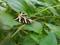 Kolorów żółtych lampasy na czarnym motylu Zdjęcie Royalty Free