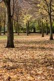 Kolorów żółtych liści spada drzewo w jesieni Obraz Royalty Free