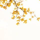 Kolorów żółtych liście Obraz Royalty Free