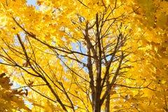 Kolorów żółtych liście Obrazy Royalty Free
