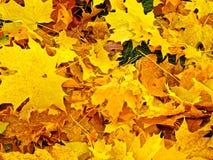 Kolorów żółtych liście obraz stock