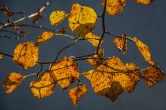 Kolorów żółtych liście Zdjęcie Royalty Free