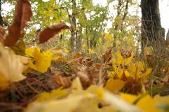 Kolorów żółtych liście zdjęcia stock