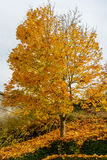Kolorów żółtych liście i czarne gałąź klonowy drzewo przeciw tłu Zdjęcia Royalty Free