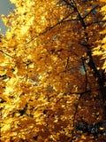Kolorów żółtych liście i dżdżysty niebo Fotografia Royalty Free