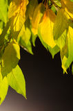 Kolorów żółtych liście na ciemnym tle Obraz Royalty Free