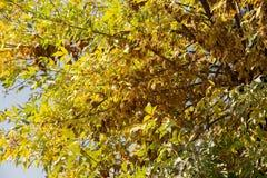 Kolorów żółtych liście na drzewie w jesieni Fotografia Royalty Free