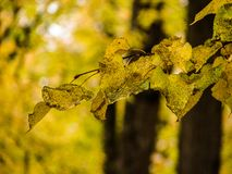 Kolorów żółtych liście na drzewie w jesieni Obraz Royalty Free