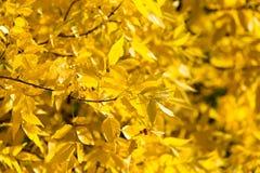 Kolorów żółtych liście na drzewie w jesieni Zdjęcia Royalty Free