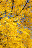Kolorów żółtych liście na drzewie w jesieni Obrazy Stock