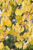Kolorów żółtych liście na drzewie w jesieni Fotografia Stock