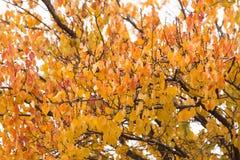 Kolorów żółtych liście na drzewie w jesieni Zdjęcie Royalty Free