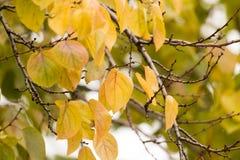 Kolorów żółtych liście na drzewie w jesieni Zdjęcia Stock