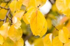 Kolorów żółtych liście na drzewie w jesieni Obrazy Royalty Free