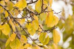 Kolorów żółtych liście na drzewie w jesieni Obraz Stock