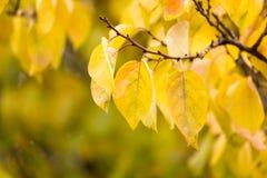 Kolorów żółtych liście na drzewie w jesieni Zdjęcie Stock
